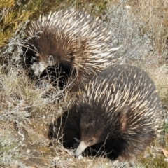 Tachyglossus aculeatus (Short-beaked Echidna) at Tennent, ACT - 28 Aug 2021 by JohnBundock