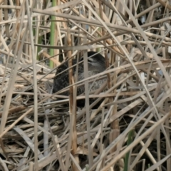 Anas superciliosa (Pacific Black Duck) at Forde, ACT - 28 Aug 2021 by TrishGungahlin