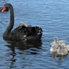 Cygnus atratus (Black Swan) at Forde, ACT - 28 Aug 2021 by TrishGungahlin