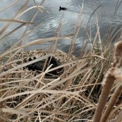 Cygnus atratus (Black Swan) at Gungahlin, ACT - 28 Aug 2021 by TrishGungahlin