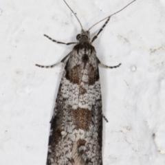 Lepidoscia heliochares (Lepidoscia heliochares) at Melba, ACT - 6 Aug 2021 by kasiaaus