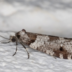 Lepidoscia heliochares at Melba, ACT - 6 Aug 2021