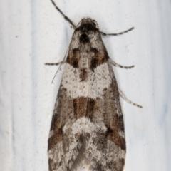 Lepidoscia heliochares (Lepidoscia heliochares) at Melba, ACT - 8 Aug 2021 by kasiaaus