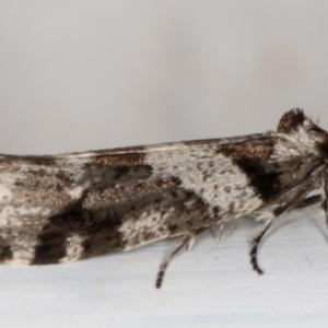 Lepidoscia heliochares at Melba, ACT - 9 Aug 2021