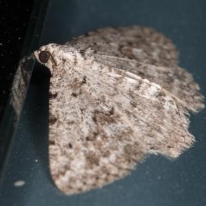 Psilosticha absorpta at Melba, ACT - 8 Aug 2021