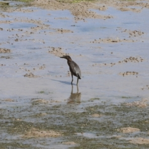 Butorides striata (Striated Heron) at Mission River, QLD by Tammy