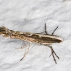 Epicephala (genus) at Melba, ACT - 27 Aug 2021