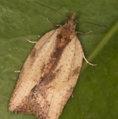 Epiphyas sp. (genus) (A Tortrid moth) at Melba, ACT - 9 Aug 2021 by kasiaaus