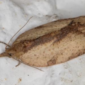Epiphyas sp. (genus) at Melba, ACT - 10 Aug 2021