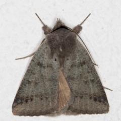 Pantydia sparsa (Noctuid Moth) at Melba, ACT - 11 Aug 2021 by kasiaaus