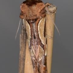 Cosmodes elegans at Melba, ACT - 12 Aug 2021