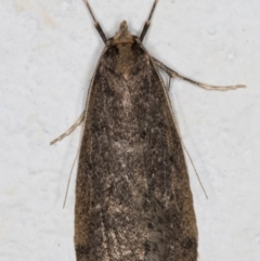 Unidentified Concealer moth (Oecophoridae) (TBC) at Melba, ACT - 11 Aug 2021 by kasiaaus