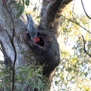Callocephalon fimbriatum at Penrose, NSW - 22 Aug 2021