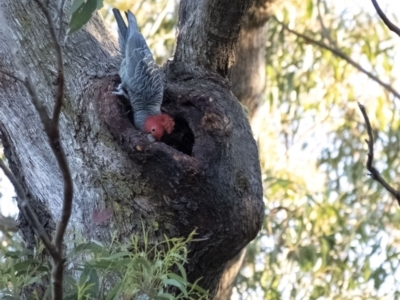 Callocephalon fimbriatum (Gang-gang Cockatoo) at Penrose, NSW - 22 Aug 2021 by Aussiegall