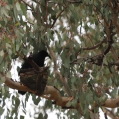 Corcorax melanorhamphos (White-winged Chough) at Cook, ACT - 28 Aug 2021 by Tammy