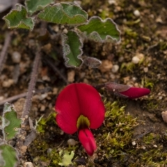 Kennedia prostrata (Running Postman) at Penrose, NSW - 26 Aug 2021 by Aussiegall