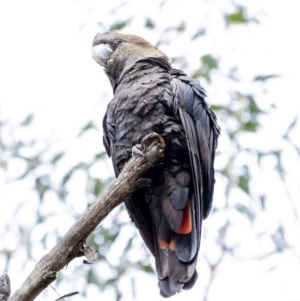 Calyptorhynchus lathami (Glossy Black-Cockatoo) at Penrose, NSW by Aussiegall
