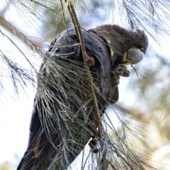 Calyptorhynchus lathami at Penrose, NSW - 27 Aug 2021