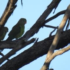 Polytelis swainsonii (Superb Parrot) at Mathoura, NSW - 13 Nov 2020 by Liam.m
