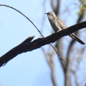 Cacomantis pallidus at Mathoura, NSW - 14 Nov 2020