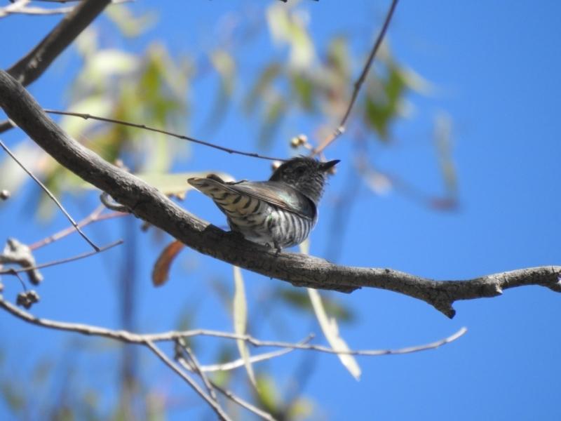Chrysococcyx lucidus at Mathoura, NSW - 14 Nov 2020