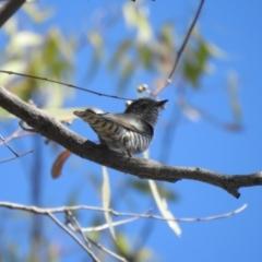 Chrysococcyx lucidus (Shining Bronze-Cuckoo) at Mathoura, NSW - 13 Nov 2020 by Liam.m