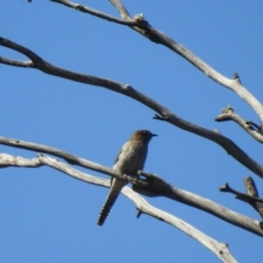 Cacomantis flabelliformis (Fan-tailed Cuckoo) at Mathoura, NSW - 13 Nov 2020 by Liam.m