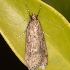 Unidentified Concealer moth (Oecophoridae) (TBC) at Melba, ACT - 21 Aug 2021 by kasiaaus