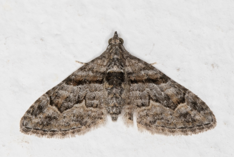 Phrissogonus laticostata at Melba, ACT - 22 Aug 2021