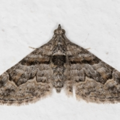 Phrissogonus laticostata (Apple looper moth) at Melba, ACT - 22 Aug 2021 by kasiaaus