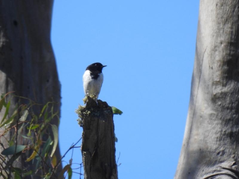 Melanodryas cucullata at Mathoura, NSW - 14 Nov 2020