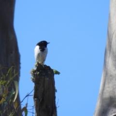 Melanodryas cucullata (Hooded Robin) at Mathoura, NSW - 13 Nov 2020 by Liam.m