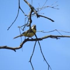 Falcunculus frontatus (Crested Shrike-tit) at Mathoura, NSW - 13 Nov 2020 by Liam.m