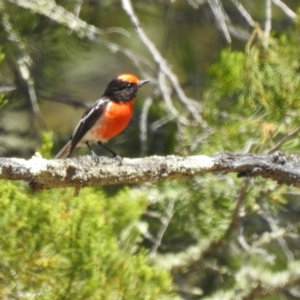Petroica goodenovii (Red-capped Robin) at Mathoura, NSW by Liam.m