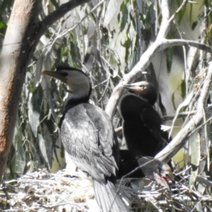Microcarbo melanoleucos (Little Pied Cormorant) at suppressed by Liam.m