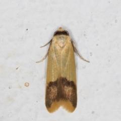 Tachystola thiasotis (A Concealer moth) at Melba, ACT - 22 Aug 2021 by kasiaaus