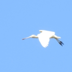 Platalea flavipes (Yellow-billed Spoonbill) at Deniliquin, NSW by Liam.m