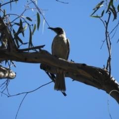 Philemon citreogularis (Little Friarbird) at Deniliquin, NSW - 14 Nov 2020 by Liam.m