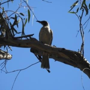 Philemon citreogularis at Deniliquin, NSW - 14 Nov 2020