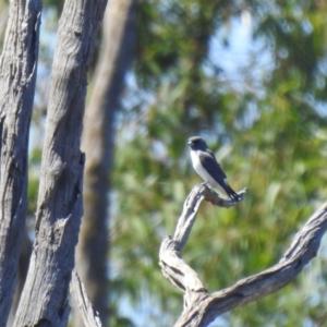 Artamus leucorynchus (White-breasted Woodswallow) at Deniliquin, NSW by Liam.m