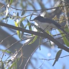 Myiagra inquieta (Restless Flycatcher) at Deniliquin, NSW - 14 Nov 2020 by Liam.m