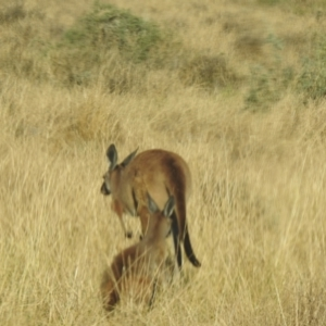 Unidentified Kangaroo / Wallaby (TBC) at suppressed by Liam.m