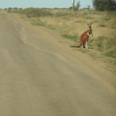 Unidentified Kangaroo / Wallaby (TBC) at Wanganella, NSW - 14 Nov 2020 by Liam.m