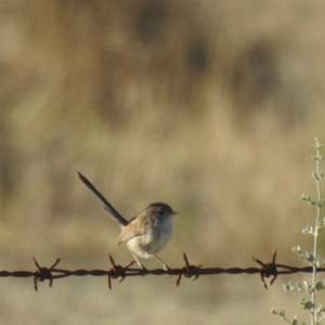 Malurus leucopterus (White-winged Fairy-Wren) at suppressed by Liam.m