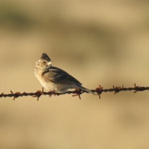 Mirafra javanica (Australasian Bushlark) at suppressed by Liam.m