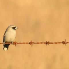 Artamus cinereus (Black-faced Woodswallow) at Wanganella, NSW - 14 Nov 2020 by Liam.m