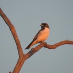 Artamus leucorynchus (White-breasted Woodswallow) at Wanganella, NSW - 14 Nov 2020 by Liam.m