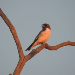 Artamus leucorynchus (White-breasted Woodswallow) at suppressed by Liam.m