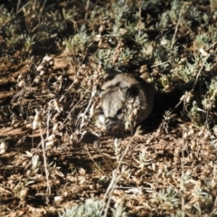 Unidentified Other Small Marsupial (TBC) at Wanganella, NSW - 14 Nov 2020 by Liam.m