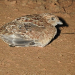 Turnix velox (Little Buttonquail) at suppressed by Liam.m